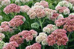 Sedum flowers Royalty Free Stock Photo