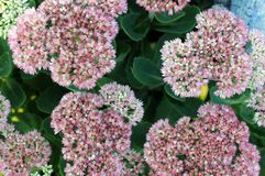 Sedum flowers Royalty Free Stock Image