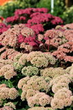 Sedum flowers, one of Fall's beautiful bouquets Royalty Free Stock Photo