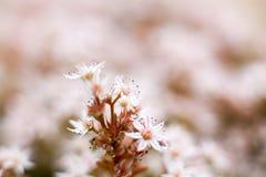 Sedum flowers Stock Photo
