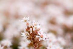 Sedum flowers Stock Image