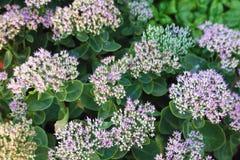 Sedum in full bloom Stock Image
