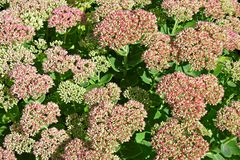 Sedum garden Royalty Free Stock Photos