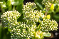 Sedum green flowers, Autumn Joy from the Crassulaceae botanic family. Close-up of Sedum green flowers, Autumn Joy from the Crassulaceae botanic family over sunny stock images