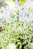 Sedum, ground cover plant Royalty Free Stock Images