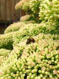 Sedum and Honey Bee. Close up of the Sedum (Autumn Joy) flower with a honeybee busily collecting nectar Stock Images