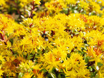 Sedum hybridum. Plant Sedum hybridum close up. A living carpet of yellow plants. Decorative landscaping garden plots, breeding orn Stock Image