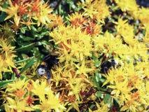 Sedum hybridum. Plant Sedum hybridum close up. A living carpet of yellow plants. Decorative landscaping garden plots, breeding orn Royalty Free Stock Photo