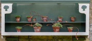 Sedum kaktus i gammal victorianväxtkruka Arkivbild