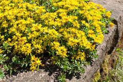 Sedum kamtschaticum, Russian Stonecrop. Early spring yellow flowering groundcover plant Stonecrop Royalty Free Stock Photo
