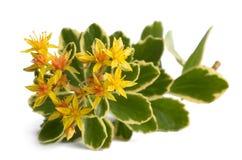 Sedum kamtschaticum variegatum. Isolated on white background Stock Image