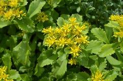 Sedum kamtschaticum. Yellow Kamtschat sedum flower. Yellow Sedum flowers growing in the garden Royalty Free Stock Photos