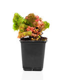 Sedum Stock Photos