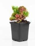 Sedum is a large genus of flowering plants Stock Images