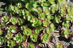 Sedum leaves in spring Stock Photo
