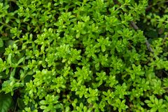 Sedum-lineare Thunb-Crassulaceae Lizenzfreie Stockbilder