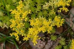 Sedum-lineare Thunb-Crassulaceae Lizenzfreies Stockfoto