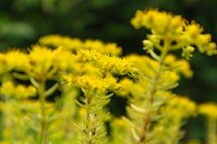 Sedum-lineare Thunb-Crassulaceae Lizenzfreie Stockfotografie