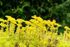 Sedum lineareThunb-crassulaceae Royaltyfri Fotografi