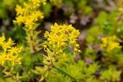 Sedum lineareThunb-crassulaceae Arkivbilder