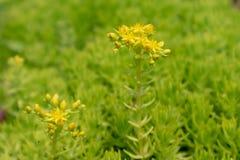 Sedum lineareThunb-crassulaceae Royaltyfria Bilder
