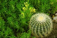 Sedum-lucidum in der Blüte mit gelben wenig Blumen und echinocactus grusonii hildm stockfotos