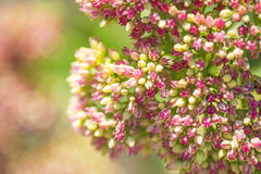 Sedum Royalty Free Stock Photography