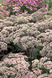 Sedum - Maestro Royalty Free Stock Photos