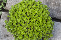 Sedum makinoi flower Stock Photography