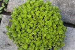 Sedum makinoi flower Stock Photography