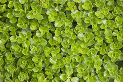 Sedum makinoi Stock Photos