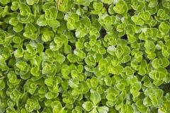 Sedum makinoi. Green leaves from sedum makinoi flower stock photos