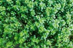 Sedum makinoi leaves. Top view of a decorative flower, Sedum makinoi royalty free stock image