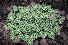 Sedum, Mauerpfeffer, Crassula am Frühlingsboden Stockbild