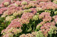 Sedum maximal blomma Royaltyfria Foton