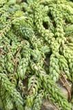 Sedum Morganianum Stockbilder