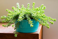 Sedum morganianum Stock Photo
