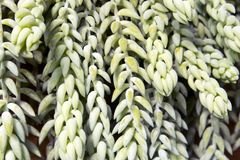 The Sedum morganianum donkey tail or burro`s tail - a species of flowering plant in the family Crassulaceae. Sedum morganianum donkey tail or burro`s tail - a Royalty Free Stock Photography