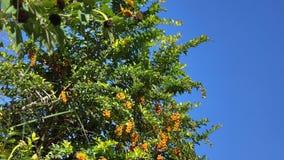 Sedum morganianum tree and fruits stock video footage