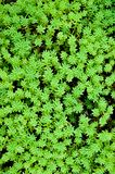 Sedum, moss shoots close-up Royalty Free Stock Photography