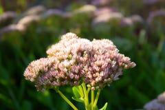 Sedum Orpine kwiaty sedum prominent jesień łatwy karciany redaguje kwiaty wakacje modyfikuje Obraz Royalty Free