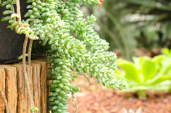 Sedum pachyphyllum the succulent plants in garden Royalty Free Stock Photography