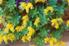 plant with yellow flowers,stonecrop,Sedum palmeri royalty free stock images