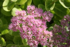 Sedum plant in blossom Stock Photography