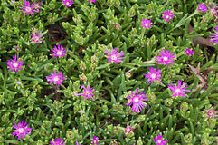 Sedum Plant with Bright Purple Flowers Royalty Free Stock Image