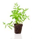 Sedum plant Stock Photo