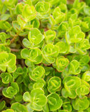 Sedum plant Royalty Free Stock Photos