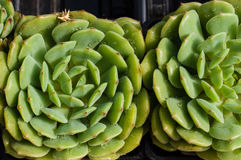 Sedum plant with tight rosette Royalty Free Stock Photography