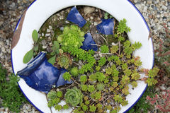 Vintage enamel bowl with sedum. Sedum planted in a vintage enamel bowl in a cottage garden Royalty Free Stock Photo