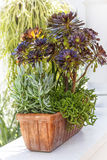 Sedum Planter Stock Photos